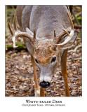 White-tailed Deer-044
