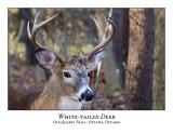 White-tailed Deer-045