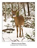 White-tailed Deer-046