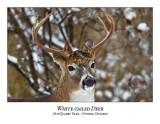 White-tailed Deer-047