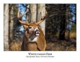 White-tailed Deer-048