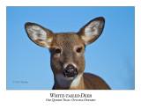White-tailed Deer-049