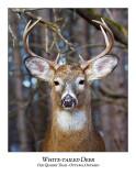 White-tailed Deer-050