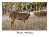 White-tailed Deer-051
