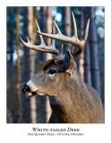 White-tailed Deer-052