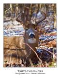 White-tailed Deer-053