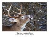 White-tailed Deer-054