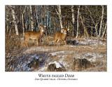White-tailed Deer-055