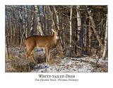 White-tailed Deer-056