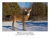 White-tailed Deer-057