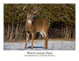 White-tailed Deer-058