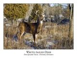 White-tailed Deer-059