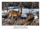 White-tailed Deer-060