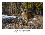 White-tailed Deer-061