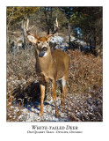 White-tailed Deer-062