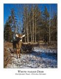 White-tailed Deer-063