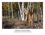 White-tailed Deer-064