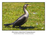 Double-crested Cormorant-002