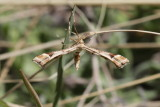 Plume moth of some sort
