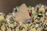 Ilavia Hairstreak (Satryrium ilavia)