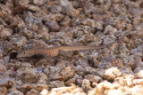 Tiger Whiptail (Aspidoscelis tigris)
