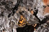 Locust Underwing Moth (Euparthenos nubilis)