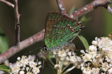 Western Green Hairstreak (Callophrys affinis)