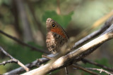 Mead's Wood-Nymph (Cercyonis meadii damei)