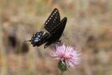 Indra Swallowtail (Papililio indra kaibabensis)