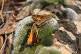 Taxiles Skipper (Poanes taxiles) - courting