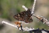 Pacuvius Duskywing (Erynnis pacuvius)