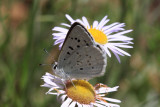 Blue Copper (lycaena heteronea)