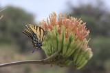 Two-tailed Swallowtail (Papilio multicaudata)