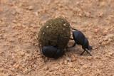 Dung Beetles (Canthon imitator)