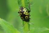 Leaf Beetle (Zygogramma signatipennis)