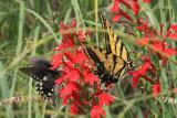 Pipevine Swallowtail (Battus philenor)  Two-tailed Swallowtail (Papilio multicaudata)
