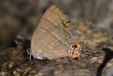 Colorado Hairstreak (Hypaurotis crysalus crysalus)