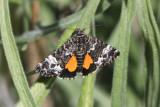 Annaphila sp