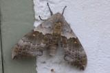 Big Poplar Sphinx (Pachysphinx occidentalis)