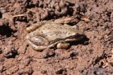 Western Chorus Frog (Pseudodacris triseriata)