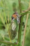BIG damn cicada - SCROLL DOWN