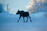 moose crossing the Wasilla airport road