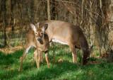Deer behind shelter