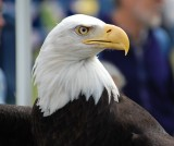 4th of July Bald Eagle.jpg