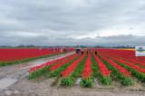 Skagit Valley Tulips 2011