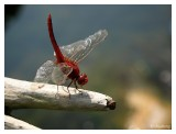 Up close on a Red Dragonfly