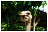 A lonely ostrich