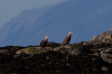 White-tailed Eagle, Havørn