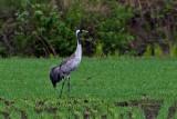 Common Crane, Trane