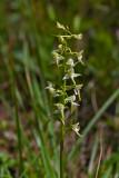 Nattfiol. Platanthera bifolia